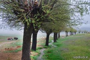 نتیجه تصویری برای درخت بید